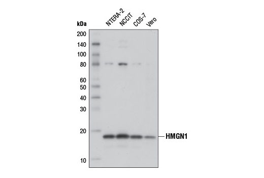 Image 1: High Mobility Group (HMG) Proteins Antibody Sampler Kit