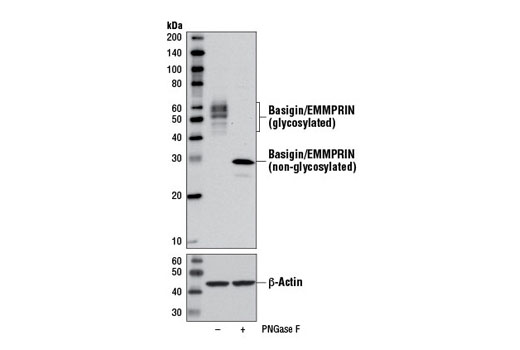 Image 6: Coronavirus Host Cell Attachment and Entry Antibody Sampler Kit