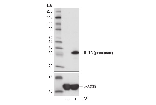Lipopolysaccharides (LPS) | Cell Signaling Technology