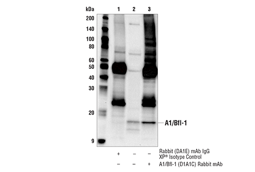 Immunoprecipitation Image 1: A1/Bfl-1 (D1A1C) Rabbit mAb