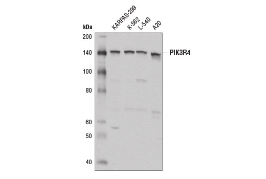 Image 7: Autophagy Vesicle Nucleation Antibody Sampler Kit
