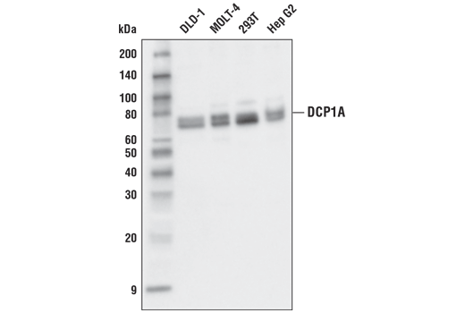 Western Blotting Image 1: DCP1A (D6V1R) Rabbit mAb