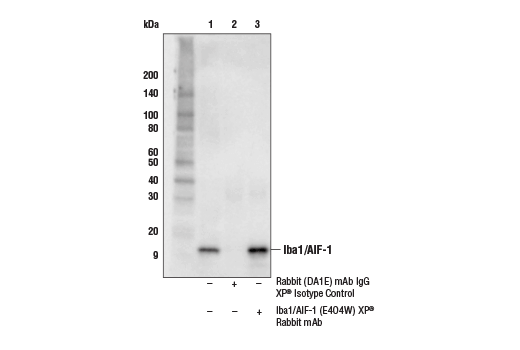 Immunoprecipitation Image 1: Iba1/AIF-1 (E4O4W) XP® Rabbit mAb