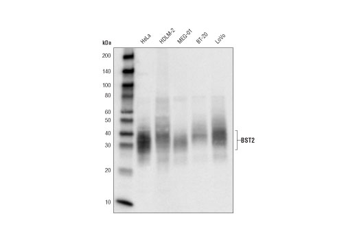 Image 9: Host Cell Viral Restriction Factor Antibody Sampler Kit