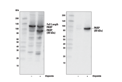 Image 2: Jurkat Apoptosis Cell Extracts (etoposide)