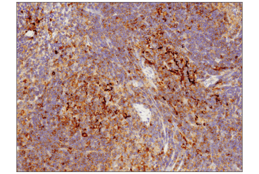 Image 10: Mouse Reactive Cell Death and Autophagy Antibody Sampler Kit