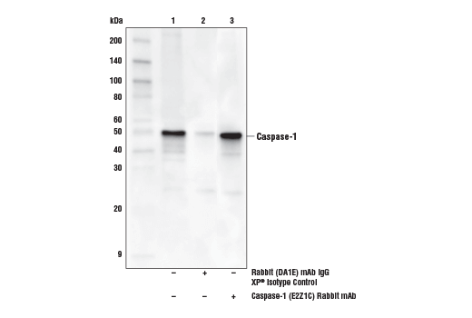 Image 5: Mouse Reactive Inflammasome Antibody Sampler Kit