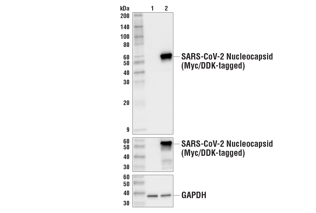 Western Blotting Image 1: SARS-CoV-2 Nucleocapsid Protein (HL344) Rabbit mAb