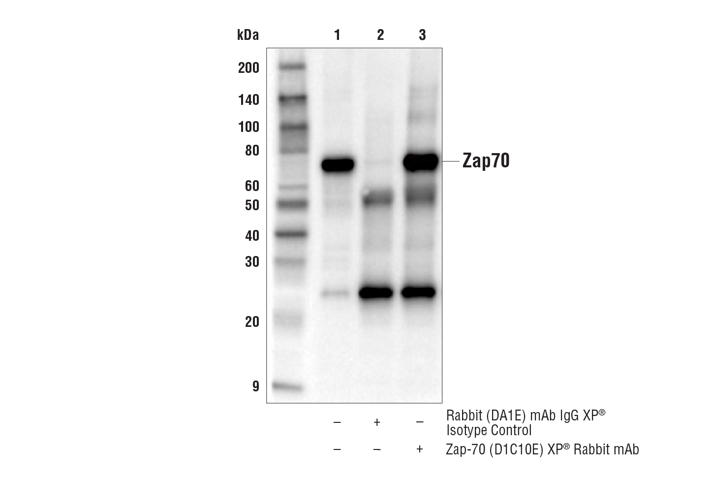 Image 9: T Cell Signaling Antibody Sampler Kit