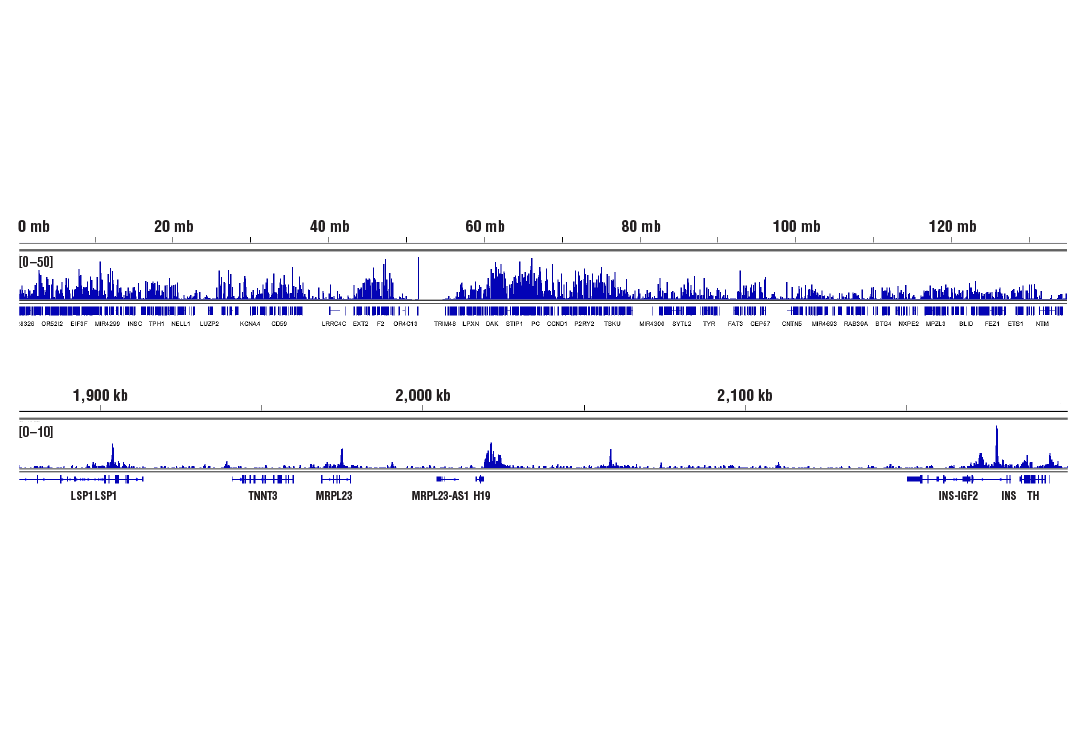 Chromatin Immunoprecipitation Image 2: CTCF (D31H2) XP® Rabbit mAb