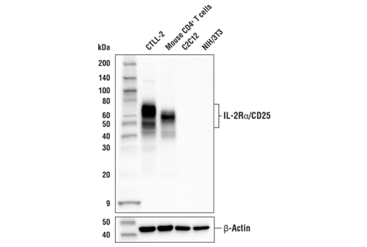 Western Blotting Image 1: IL-2Rα/CD25 (E4B2Z) XP® Rabbit mAb
