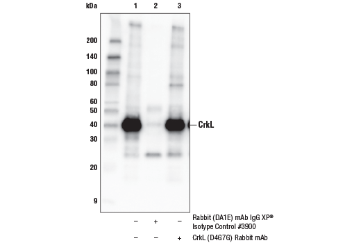 Immunoprecipitation Image 1: CrkL (D4G7G) Rabbit mAb