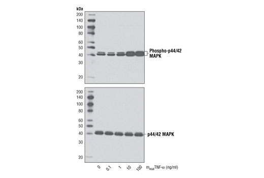 Image 3: Mouse His6 Tumor Necrosis Factor-α (mHis6TNF-α)