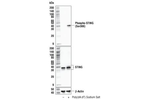 Frontiers | Poly(dA:dT) Suppresses HSV-2 Infection of