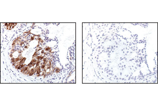 Immunohistochemistry Image 1: Phospho-NF-κB p105 (Ser932) (178F3) Rabbit mAb (IHC Specific)