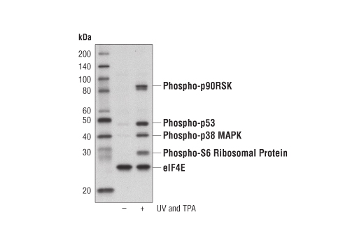 Western Blotting Image 1: PathScan® Multiplex Western Cocktail II: Phospho-p90RSK, Phospho-p53, Phospho-p38 MAPK and Phospho-S6 Ribosomal Protein Detection Cocktail II