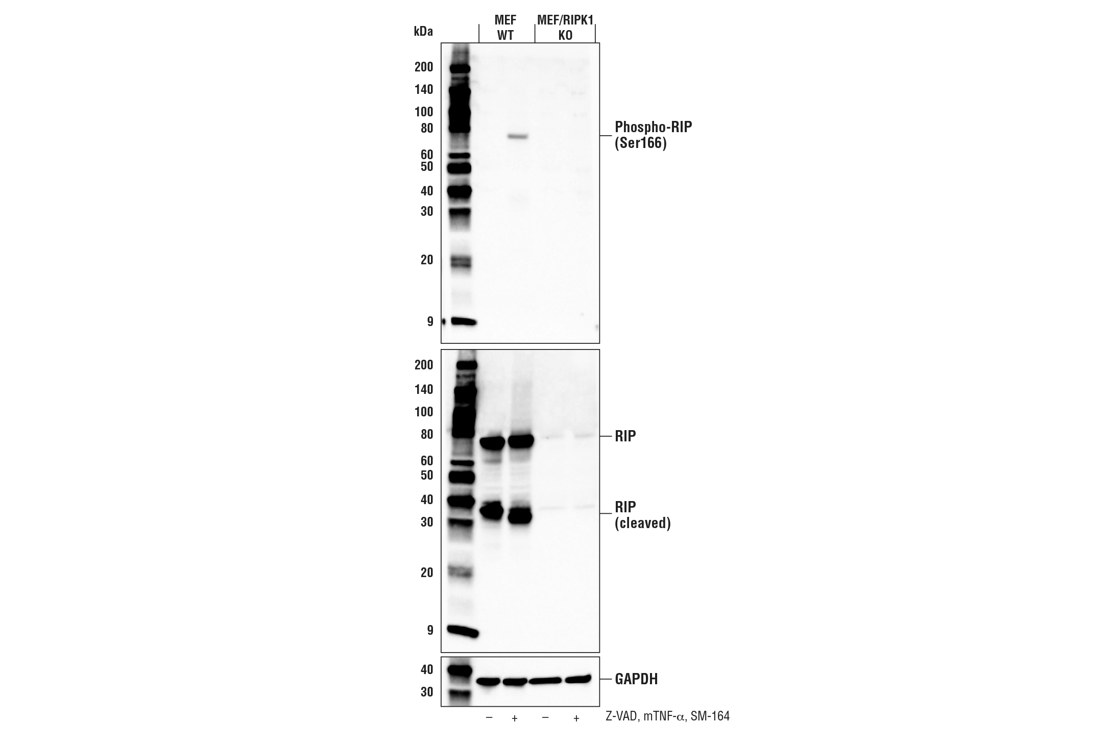 Image 16: Mouse Reactive Cell Death and Autophagy Antibody Sampler Kit