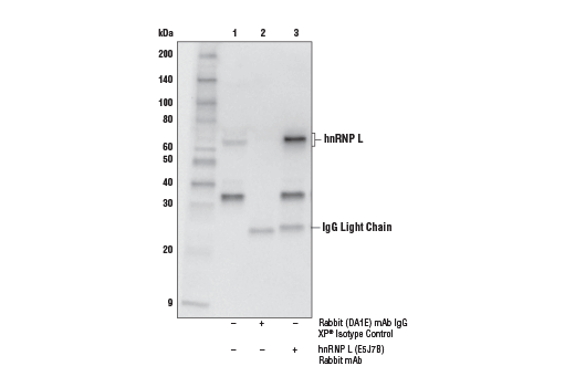 Immunoprecipitation Image 1: hnRNP L (E5J7B) Rabbit mAb