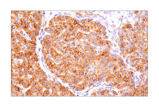 Immunohistochemistry Image 1: Connexin 43 (E7N2R) XP® Rabbit mAb
