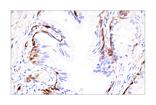 Immunohistochemistry Image 5: Connexin 43 (E7N2R) XP® Rabbit mAb