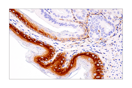 Immunohistochemistry Image 11: Connexin 43 (E7N2R) XP® Rabbit mAb