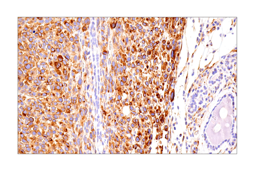Immunohistochemistry Image 12: Connexin 43 (E7N2R) XP® Rabbit mAb