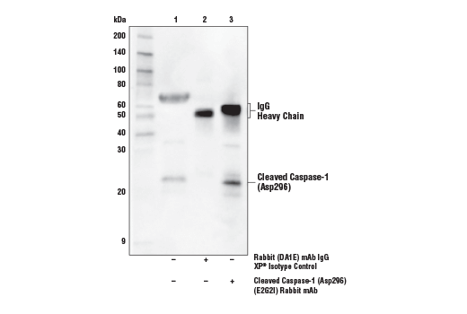 Image 30: Mouse Reactive Inflammasome Antibody Sampler Kit