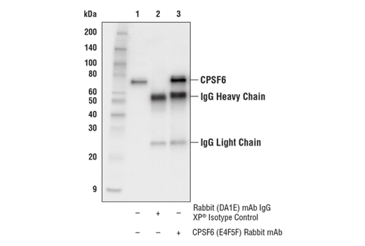 Immunoprecipitation Image 1: CPSF6 (E4F5F) Rabbit mAb