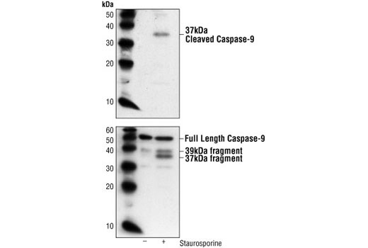Western Blotting Image 1: Cleaved Caspase-9 (Asp353) Antibody (Mouse Specific)