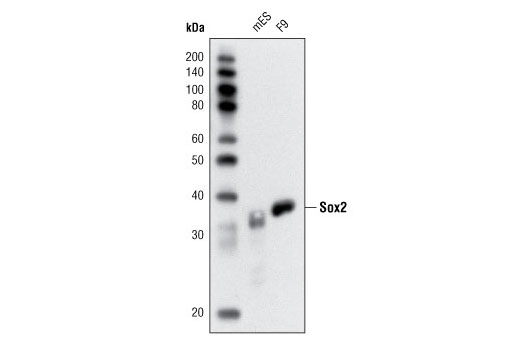 Monoclonal Antibody Immunohistochemistry Paraffin Endodermal Cell Fate Specification