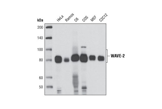 Western blot analysis of extracts from various cell types using WAVE-2 (D2C8) XP<sup>®</sup> Rabbit mAb.