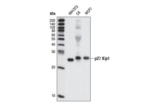 Western blot analysis of extracts from NIH/3T3, C6 and MCF7 cells using p27 Kip1 (SX53G8.5) Mouse mAb.