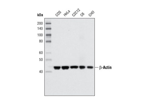 Western blot analysis of extracts from various cell types using β-Actin (8H10D10) Mouse mAb.