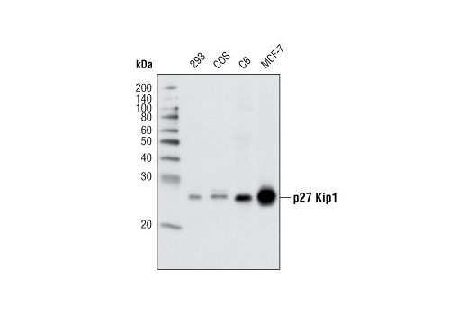 Western blot analysis of extracts from various cell types using p27 Kip1 (D69C12) XP<sup>®</sup> Rabbit mAb.