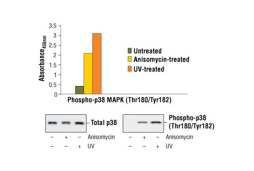 Figure 1. Treatment of HeLa cells with anisomycin or UV irradiation stimulates phosphorylation of p38 MAP kinase at Thr180/Tyr182 as detected by the PathScan<sup>®</sup> Phospho-p38 MAPK (Thr180/Tyr182) Sandwich ELISA Kit #7946, but does not affect the level of total p38 MAP kinase. HeLa cells were treated with 5 μg/ml anisomycin for 30 minutes at 37ºC or 45 mJ/cm<sup>2</sup> UV irradiation followed by a 30 minute recovery period at 37ºC. The absorbance readings at 450 nm are shown in the top figure, while the western blots using p38 MAPK Antibody #9212 (left) or Phospho-p38 MAPK (Thr180/Tyr182) Antibody #9211 (right) are shown in the bottom figure.