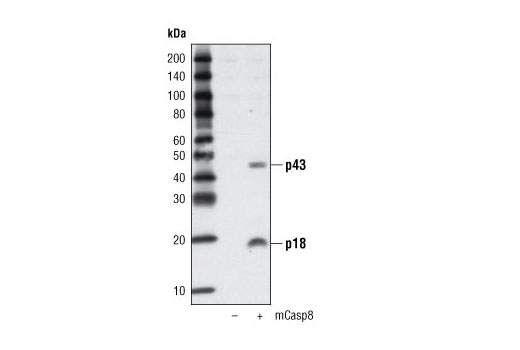 Western blot analysis of extracts from COS cells, mock transfected (-) or transfected with a construct overexpressing mouse caspase-8 (+), using Cleaved Caspase-8 (Asp387) Antibody (Mouse Specific).