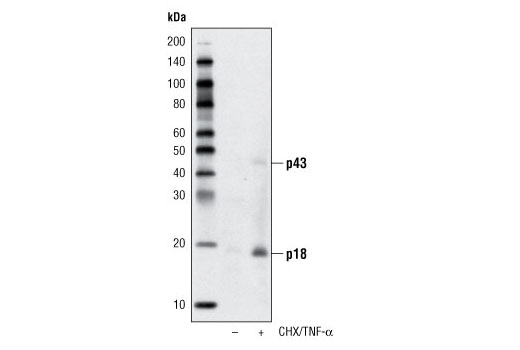 Western blot analysis of extracts from CTLL-2 cells, untreated or treated with cycloheximide (CHX, 10 μg/ml, overnight) followed by TNF-α #8902 (20 ng/ml, 4 hours), using Cleaved Caspase-8 (Asp387) Antibody (Mouse Specific).