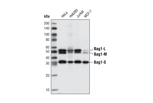 Western Blotting Image 1: Bag1 (3.10G3E2) Mouse mAb