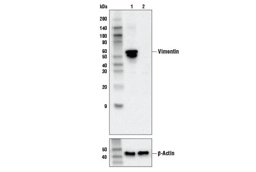 Western blot analysis of HeLa cell extracts, untreated (-) or Vimentin knock-out (+), using Vimentin (R28) Antibody, #3932 (upper) or β-actin (13E5) Rabbit mAb #4970 (lower).