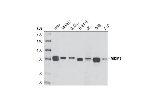 Western blot analysis of extracts from various cell types using MCM7 (D10A11) XP<sup>®</sup> Rabbit mAb.