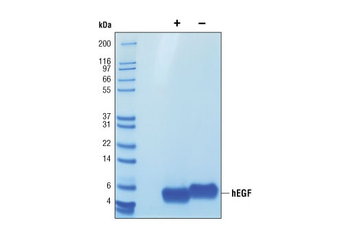 The purity of recombinant hEGF was determined by SDS-PAGE of 6 µg reduced (+) and non-reduced (-) recombinant hEGF and staining overnight with Coomassie Blue.