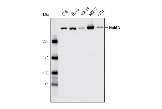 Western blot analysis of extracts from various cell types using NuMA Antibody.