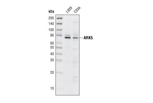 Polyclonal Antibody - ARK5 Antibody - Western Blotting, UniProt ID O60285, Entrez ID 9891 #4458, Nuak1/Ark5