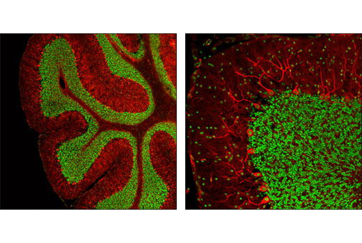 Confocal immunofluorescent analysis of mouse brain using CREB (D76D11) Rabbit mAb (green) and β3-Tubulin (TU-20) Mouse mAb #4466 (red).