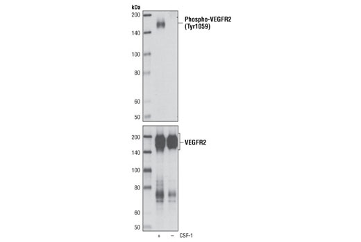 Western blot analysis of PAE/CKR cells, untreated or stimulated with CSF-1, using Phospho-VEGF Receptor 2 (Tyr1059) (D5A6) Rabbit mAb (upper) and VEGF Receptor 2 (55B11) Rabbit mAb #2479 (lower). PAE/CKR cells express a chimeric receptor made up of human CSF-1 receptor extracellular domain and mouse VEGF receptor 2 transmembrane and intracellular domains.