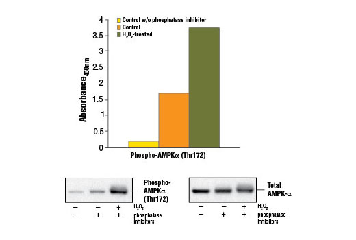 Figure 1. Treatment of C2C12 cells with H<sub>2</sub>O<sub>2</sub> stimulates phosphorylation of AMPKα at Thr172, detected by the PathScan<sup>®</sup> Phospho-AMPKα (Thr172) Sandwich ELISA Kit #7959. C2C12 cells (80-90% confluent) were treated with 10 mM H<sub>2</sub>O<sub>2</sub> for 10 minutes at 37ºC. The absorbance readings at 450 nm are shown in the top figure, while the corresponding western blots using AMPKα (23A3) Rabbit mAb #2603 (left panel) or Phospho-AMPKα (Thr172) (D79.5E) XP<sup>®</sup> Rabbit mAb #4188 (right panel) are shown in the bottom figure.