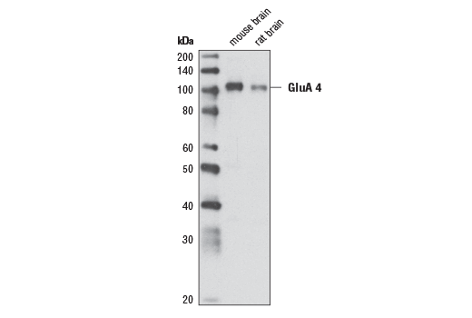 Polyclonal Antibody - AMPA Receptor 4 (GluA 4) (Ala60) Antibody, UniProt ID P48058, Entrez ID 2893 #3824, Glur4