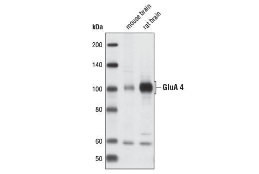 Polyclonal Antibody - AMPA Receptor 4 (GluA 4) (Arg860) Antibody, UniProt ID P48058, Entrez ID 2893 #3825, Neuroscience