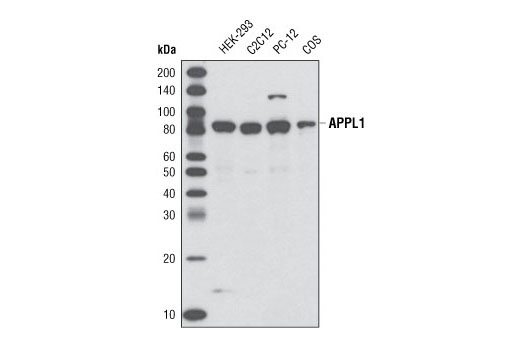 Western blot analysis of extracts from various cell types using APPL1 (D83H4) XP<sup>®</sup> Rabbit mAb.
