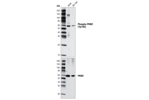 Western blot analysis of extracts from A549 and DU 145 cells using Phospho-PKM2 (Tyr105) Antibody (upper) or PKM2 Antibody #3198 (lower).